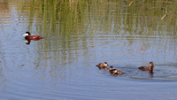 Ruddy Duck with Chicks